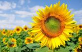 sunflowerfield_1000_1518566538.jpg