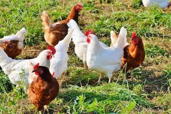 chicken-2789493_1920.jpg